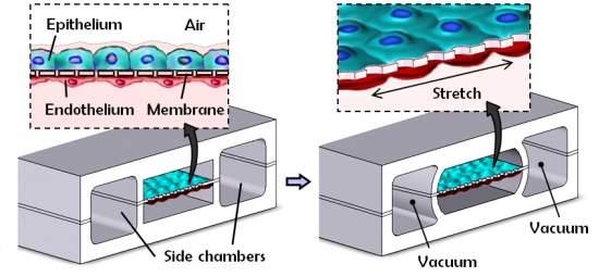 Cientistas criam pulmão eletrônico dentro de um chip
