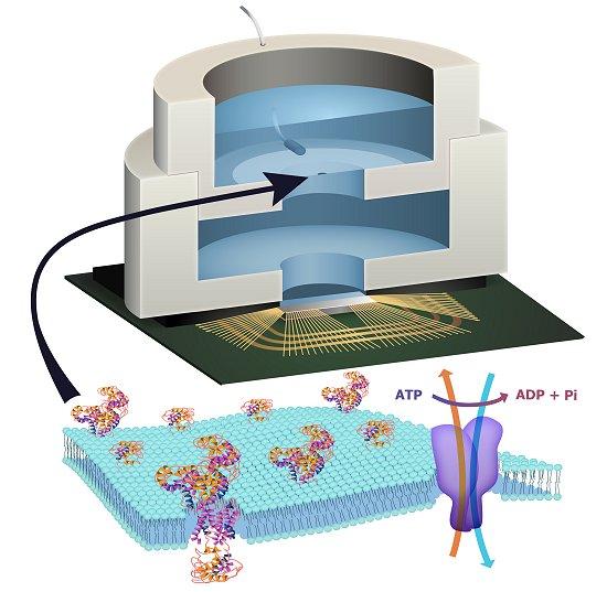 Bioeletrônica: Chip é alimentado biologicamente