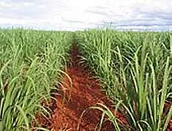 Esgoto doméstico aumenta produtividade da cana-de-açúcar