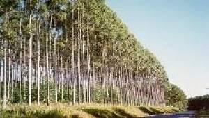 Esgoto substitui adubo e aumenta produção de madeira de eucaliptos