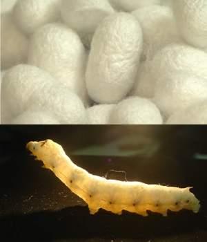 Bichos-da-seda transgênicos produzem teia de aranha artificial