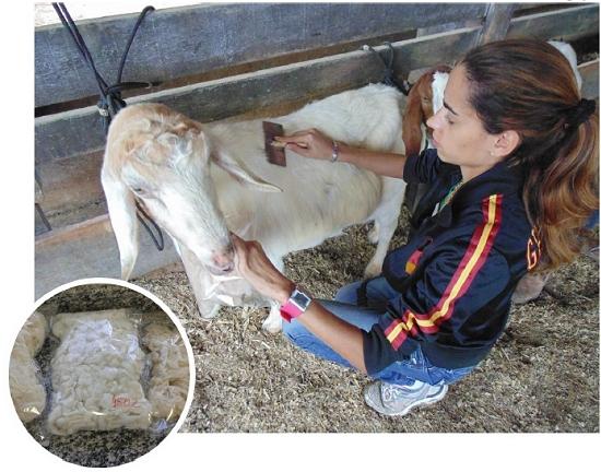 Casimira de cabras brasileiras seria a melhor do mundo - se fosse feita