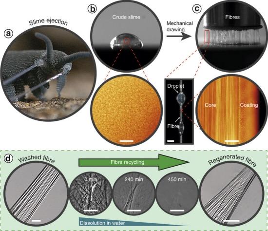 Muco que vira fio rígido inspira polímeros reutilizáveis