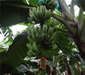 Banana faz sorvete demorar mais para derreter