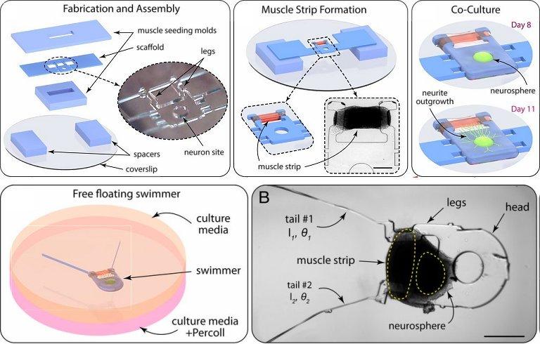 Biorrobô meio máquina e meio vivo abre caminho para máquinas vivas