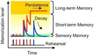 Circuito sináptico memoriza e esquece como o cérebro